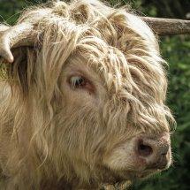 #1804 schottisches Hochlandrind weiß