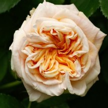 #0217 Garden of Roses