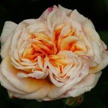 #0219 Garden of Roses