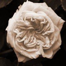 #0222 Garden of Roses schwarz/weiß