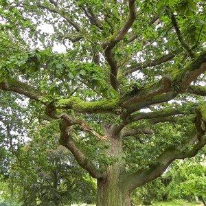 #0604 uralter Riesen-Eichenbaum