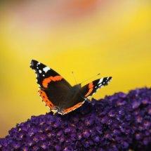 #2008 Schmetterling - Distelfalter auf Flieder