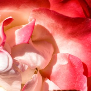 #0203 Makro Rosenblüte