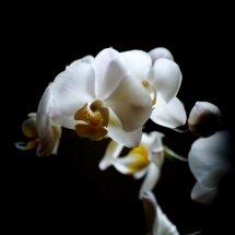 #0058 weißer Orchideenblütenstand