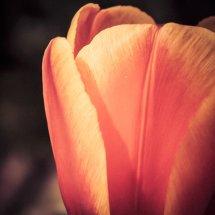 #0076 Tulpe