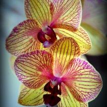 #0063 Orchidee