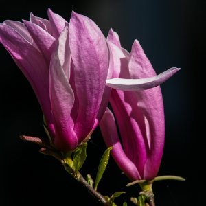 #0006 Magnolienblüte