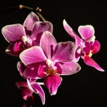 #0013 Orchidee