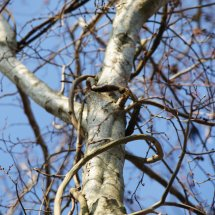 #0607 umwobener Baum
