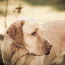 #2450 Max - blonder Labrador Retriever Rüde