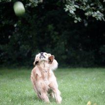 #2454 Golden Retriever Hündin fixiert Ball