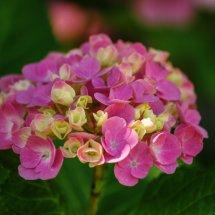 #0074 rosa Garten-Hortensie kurz vor der Blüte