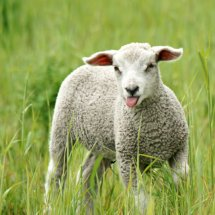 #1602 freches Lamm
