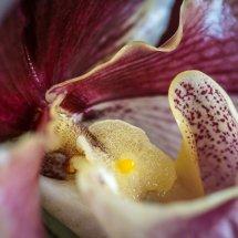 #0083 Frauenschuh Orchidee