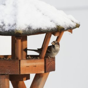 #1005 Spatz im Winter am Futterhaus