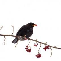 #1003 Amsel im Winter beim Beerenfressen