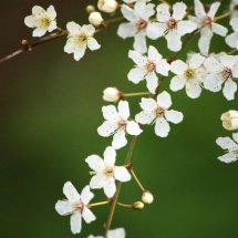 #0054 Kirschblüte