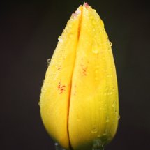 #0055 gelbe Tulpe nach dem Regen