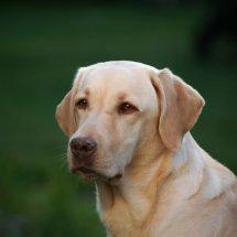 #2436 blonder Labrador