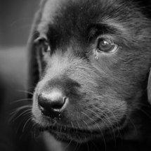 #2207 Hundeblick in schwarz-weiß
