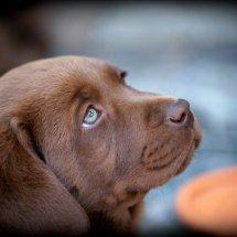 #2240 brauner Labrador-Welpe