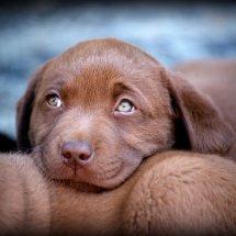 #2239 schokobrauner Labrador-Welpe