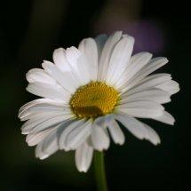#0061  hohe Garten-Margerite