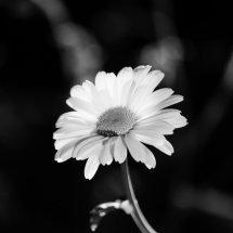 #0062 hohe Garten-Margerite schwarz-weiß