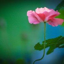 #0436 rosa Mohnblüte
