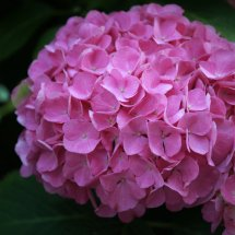 #0073 rosa Garten-Hortensie