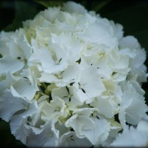#0072 weiße Hortensie