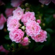 #0227 Strauchrose rosa
