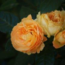 #0225 Bernstein Rose