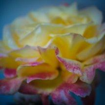 #0212 Speelwark in voller Blüte