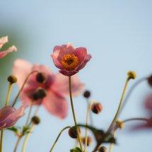 #0017 Anemone pink