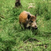 #0806 Wildschwein