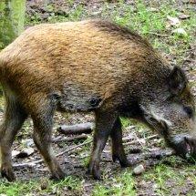 #0807 Wildschwein