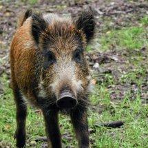 #0808 Wildschwein fotogen