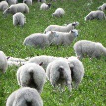 #1612 Schafherde auf Kleewiese