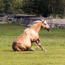 #1414 Pferd beim Aufstehen