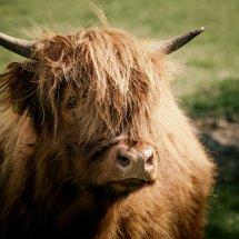 #1812 schottisches Hochlandrind jung