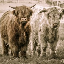 #1803 Highland Cattle