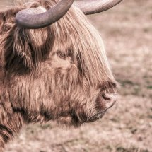 #1808 Highland cattle