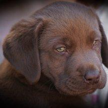 #2243 schokobrauner Labradorwelpe