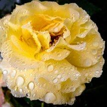 #0214 Bernstein Rose