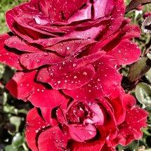 #0236 Lübecker Rotspon Rosenblüten