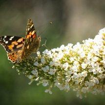 #2002 Schmetterling(s)+flieder