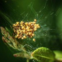 #2005 Kreuzspinnen-Nest