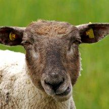 #1613 cooles Schaf