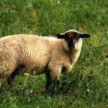 #1614 einfach Schaf